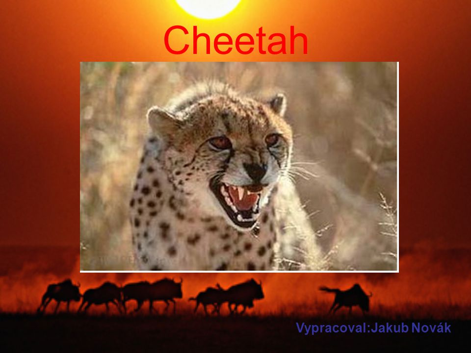 A cheetah is a feline.He run at 100km/h and he lives in Afrika.