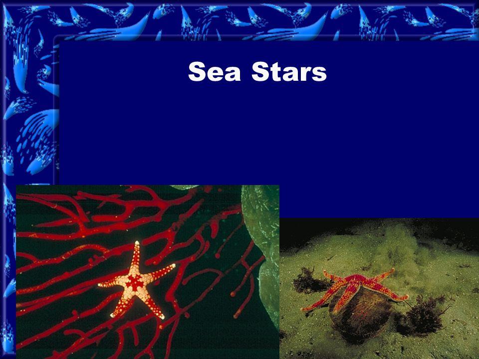 brittle stars and basket stars basket star