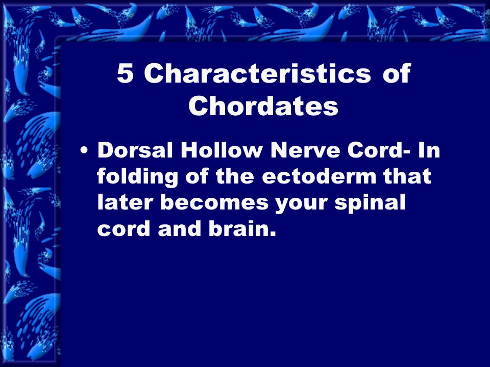 5 Characteristics of Chordates Notochord- a long semi rigid rod like structure. Located between the digestive system and the dorsal hollow nerve cord.