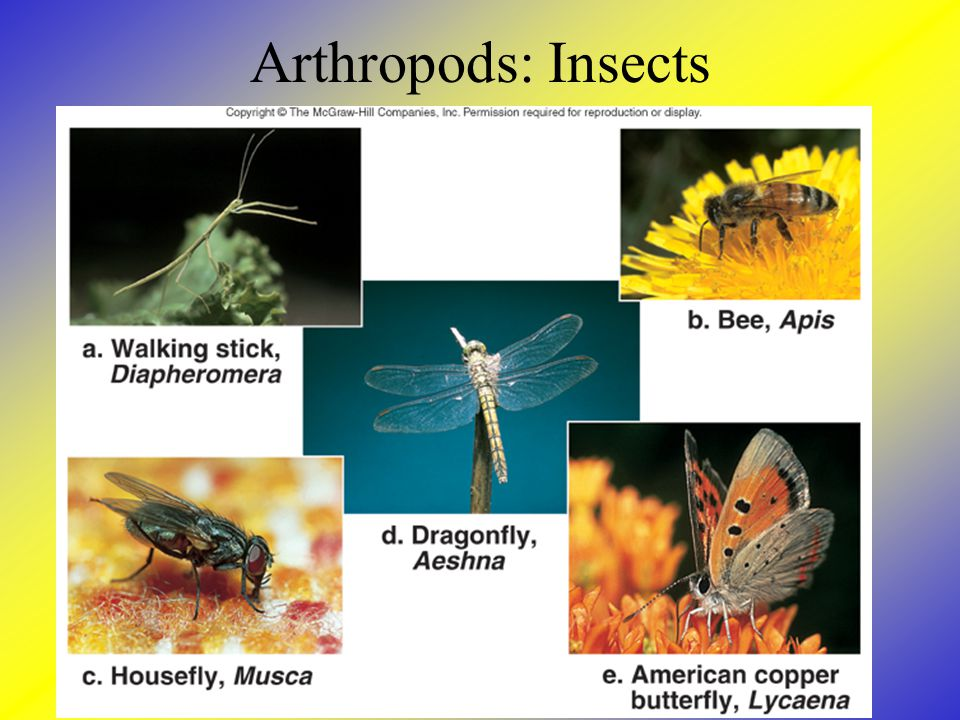 Arthropods: Insects