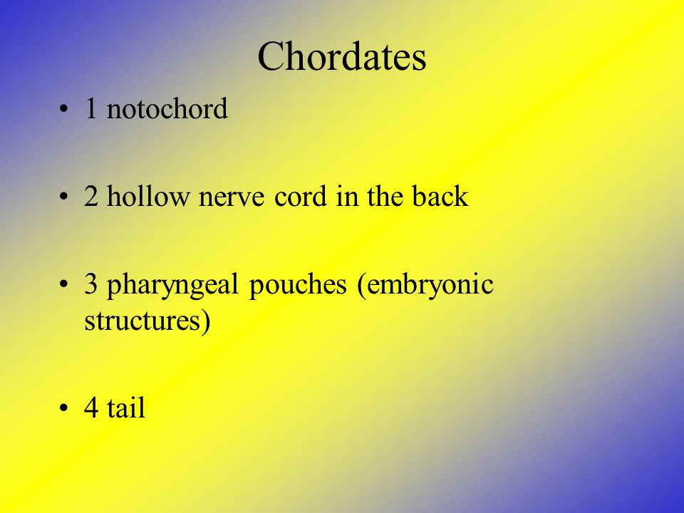 Chordates 1 notochord 2 hollow nerve cord in the back 3 pharyngeal pouches (embryonic structures) 4 tail