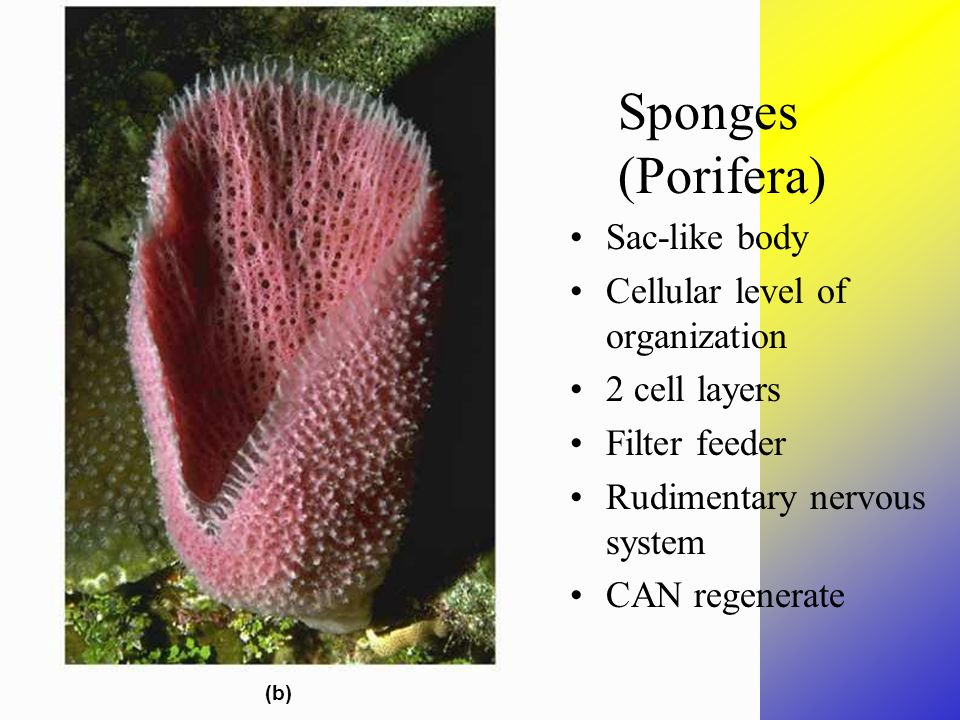 Sponges (b) Sac-like body Cellular level of organization 2 cell layers Filter feeder Rudimentary nervous system CAN regenerate Sponges (Porifera)