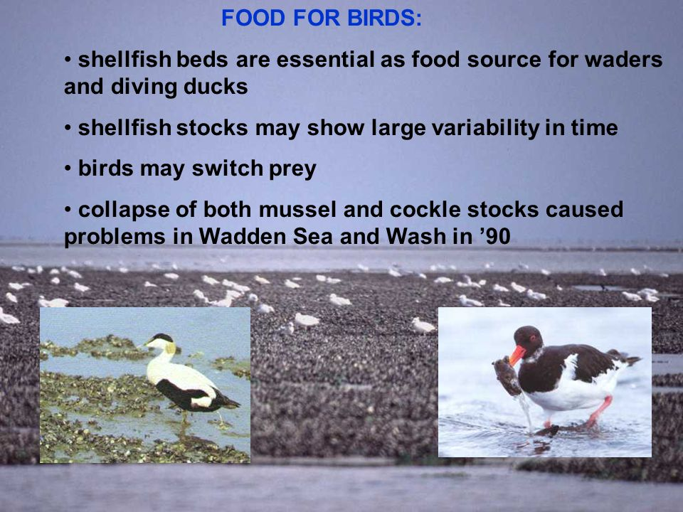 Centre for Shellfish Research FOOD FOR BIRDS: shellfish beds are essential as food source for waders and diving ducks shellfish stocks may show large variability in time birds may switch prey collapse of both mussel and cockle stocks caused problems in Wadden Sea and Wash in '90