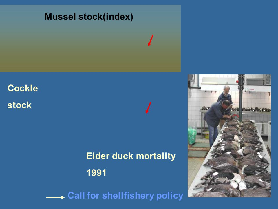 Mussel stock(index) Eider duck mortality 1991 Cockle stock Call for shellfishery policy