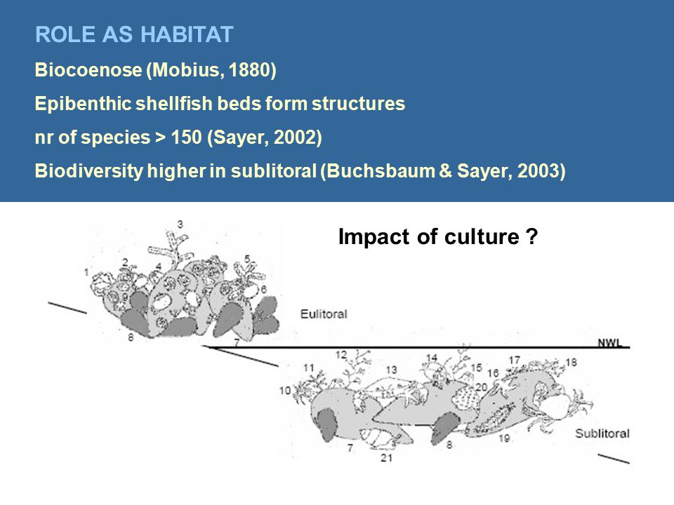 ROLE AS HABITAT Biocoenose (Mobius, 1880) Epibenthic shellfish beds form structures nr of species > 150 (Sayer, 2002) Biodiversity higher in sublitoral (Buchsbaum & Sayer, 2003) Impact of culture