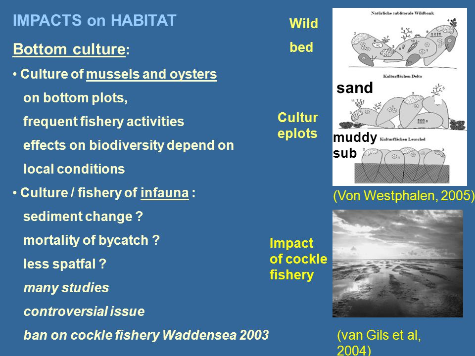 IMPACTS on HABITAT Bottom culture : Culture of mussels and oysters on bottom plots, frequent fishery activities effects on biodiversity depend on local conditions Culture / fishery of infauna : sediment change .