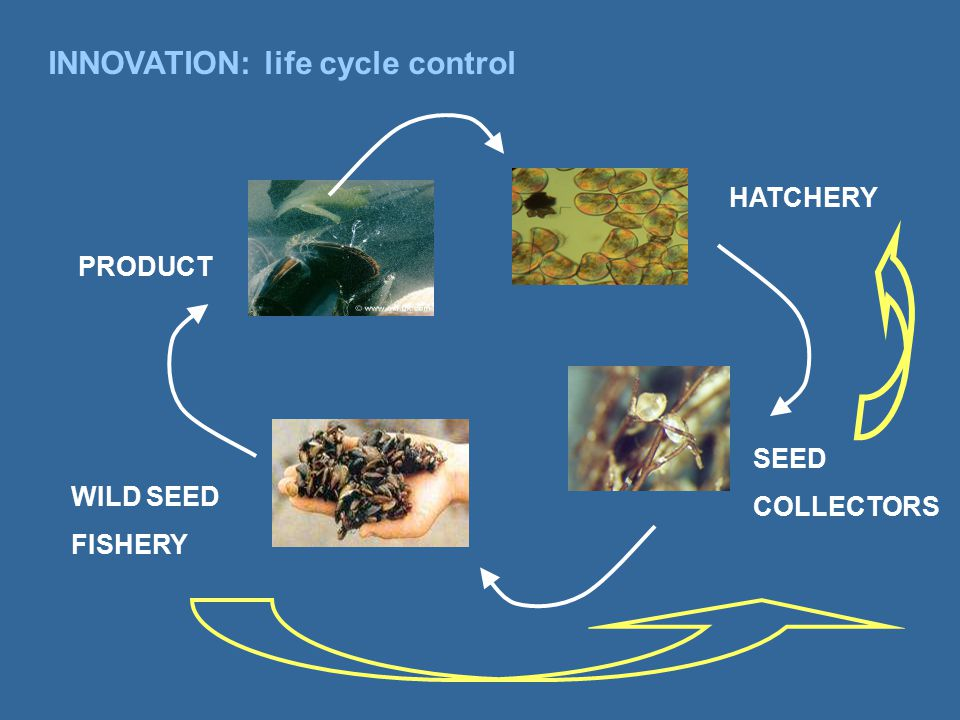 INNOVATION: life cycle control PRODUCT HATCHERY SEED COLLECTORS WILD SEED FISHERY