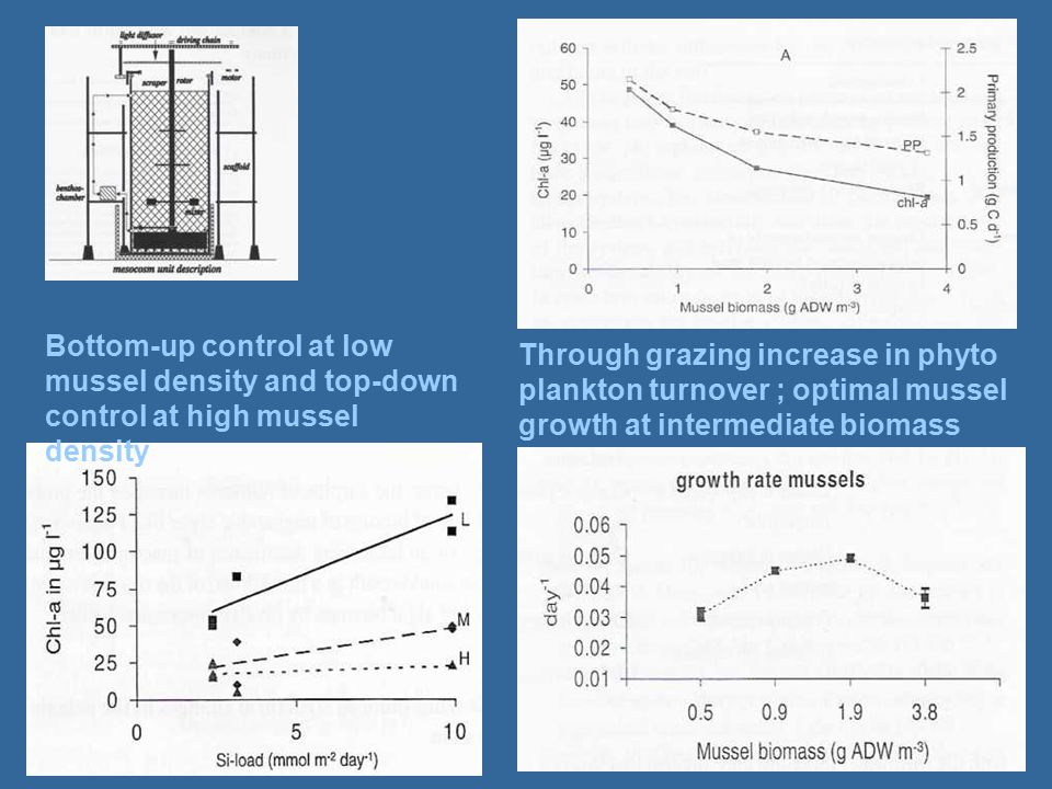 Through grazing increase in phyto plankton turnover ; optimal mussel growth at intermediate biomass Bottom-up control at low mussel density and top-down control at high mussel density