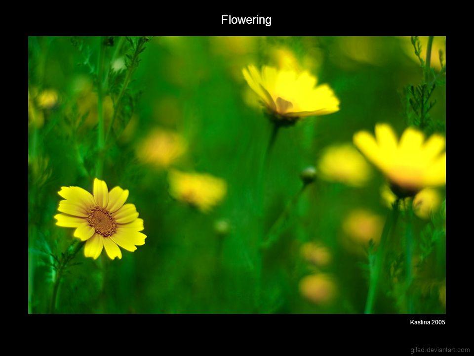 gilad.deviantart.com Flowering Kastina 2005