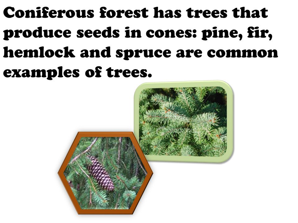 Coniferous forest has trees that produce seeds in cones: pine, fir, hemlock and spruce are common examples of trees.