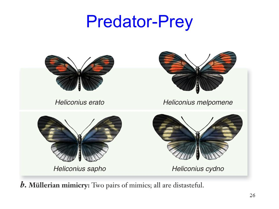 26 Predator-Prey