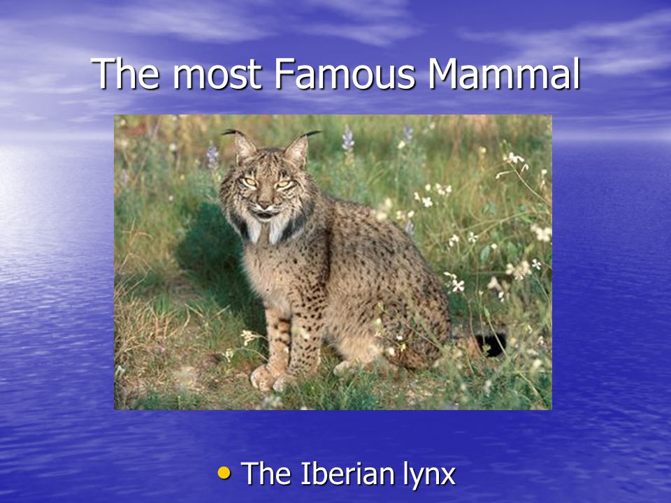The most Famous Mammal The Iberian lynx The Iberian lynx