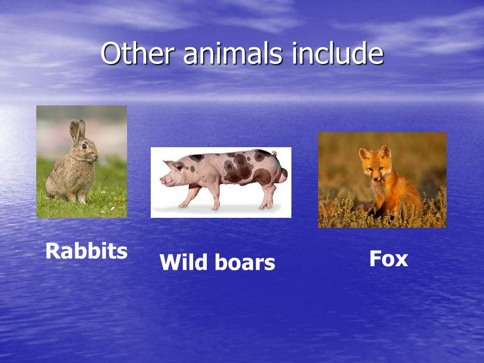 Other animals include Rabbits Wild boars Fox