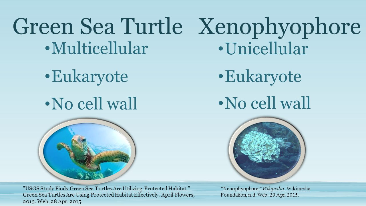 Green Sea Turtle Multicellular Xenophyophore Eukaryote Unicellular No cell wall