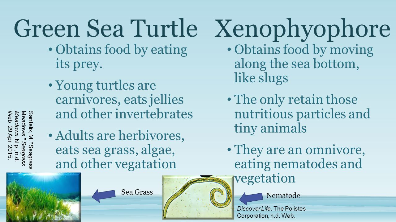 Green Sea TurtleXenophyophore Obtains food by eating its prey. Young turtles are carnivores, eats jellies and other invertebrates Adults are herbivore