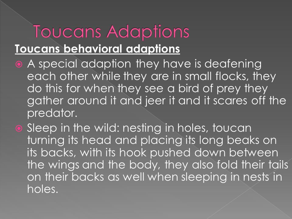 Toucans behavioral adaptions  A special adaption they have is deafening each other while they are in small flocks, they do this for when they see a bird of prey they gather around it and jeer it and it scares off the predator.