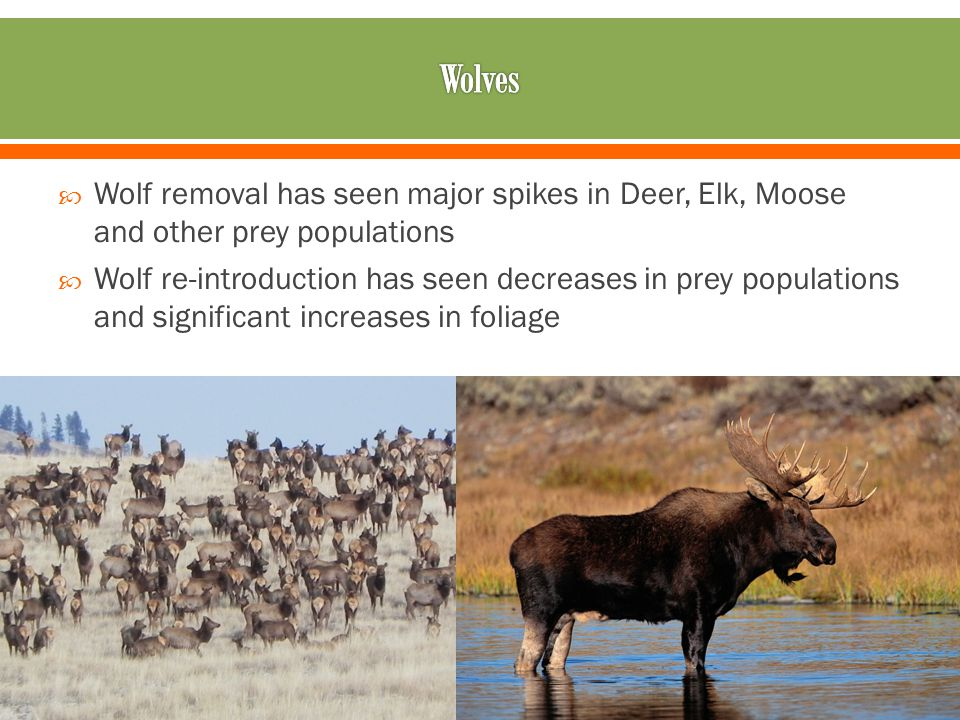  Wolf removal has seen major spikes in Deer, Elk, Moose and other prey populations  Wolf re-introduction has seen decreases in prey populations and significant increases in foliage
