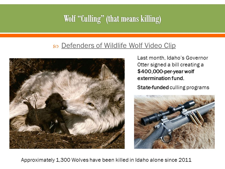  Defenders of Wildlife Wolf Video Clip Defenders of Wildlife Wolf Video Clip State-funded culling programs Last month, Idaho's Governor Otter signed a bill creating a $400,000-per-year wolf extermination fund.