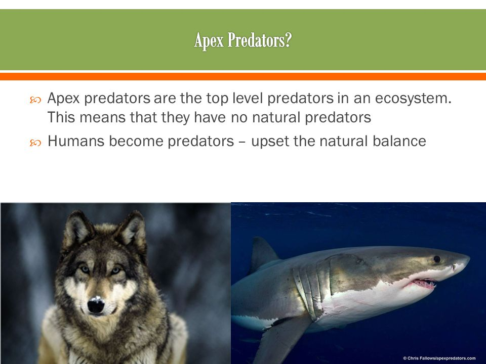  Apex predators are the top level predators in an ecosystem.