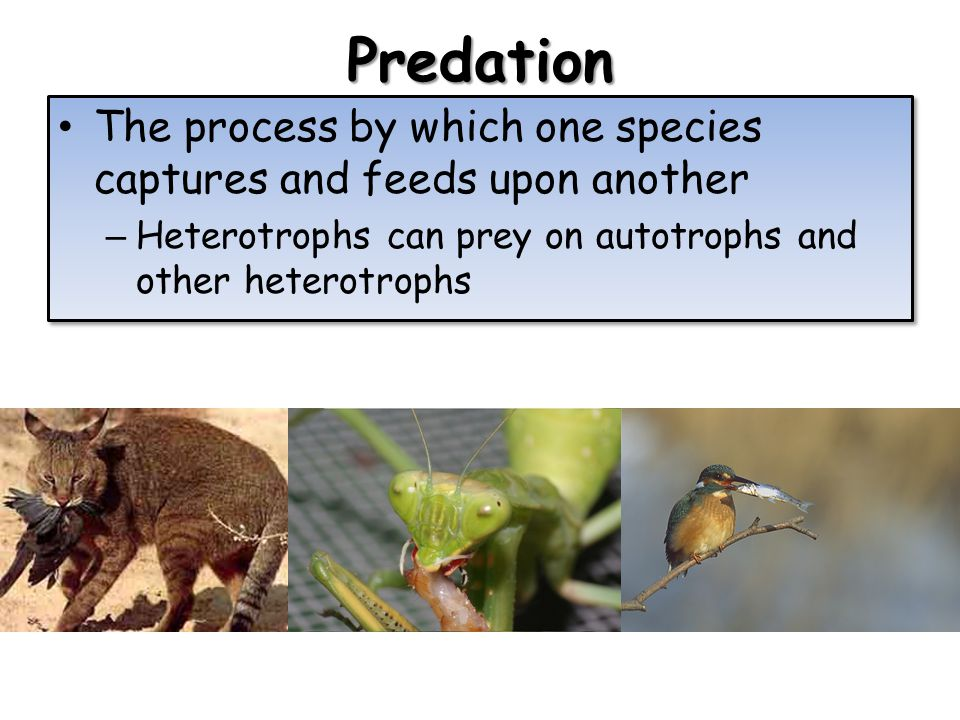 Predation The process by which one species captures and feeds upon another – Heterotrophs can prey on autotrophs and other heterotrophs The process by which one species captures and feeds upon another – Heterotrophs can prey on autotrophs and other heterotrophs