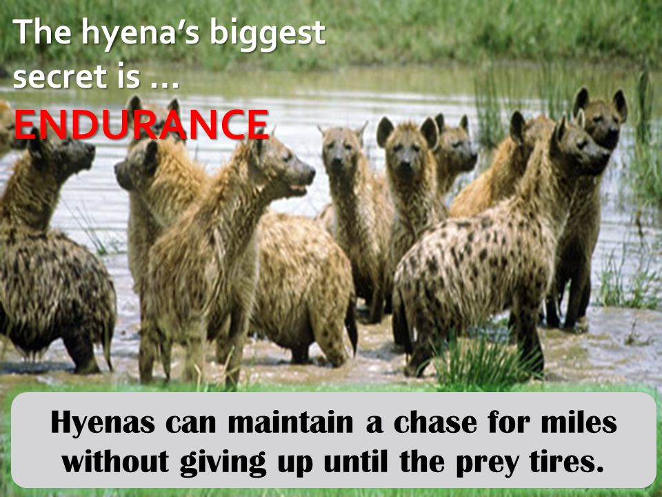 The hyena's biggest secret is … ENDURANCE Hyenas can maintain a chase for miles without giving up until the prey tires.