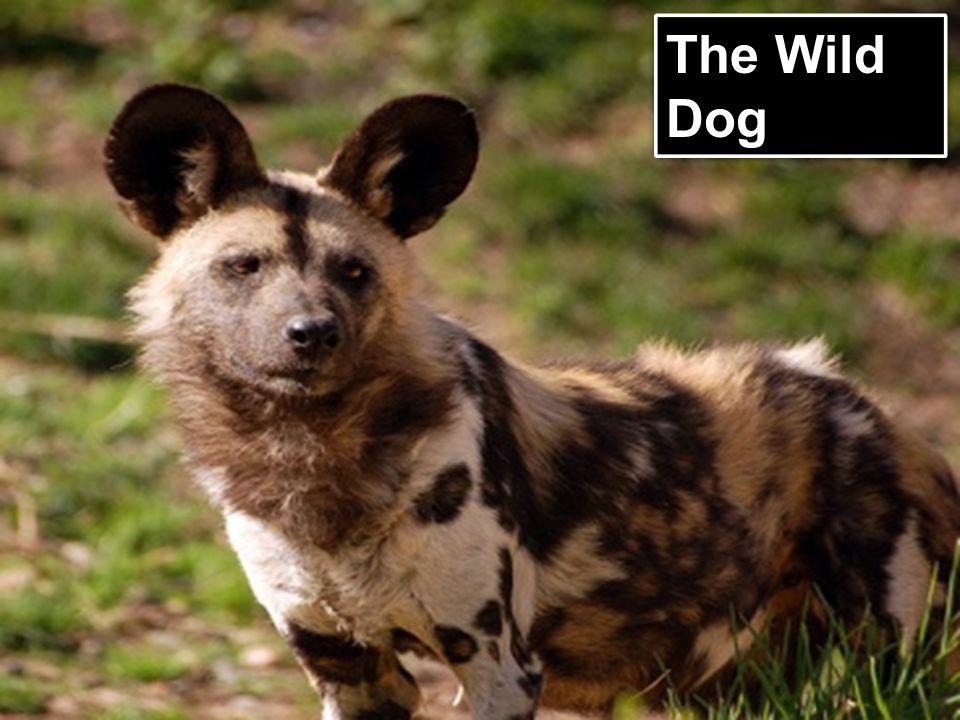 The Wild Dog