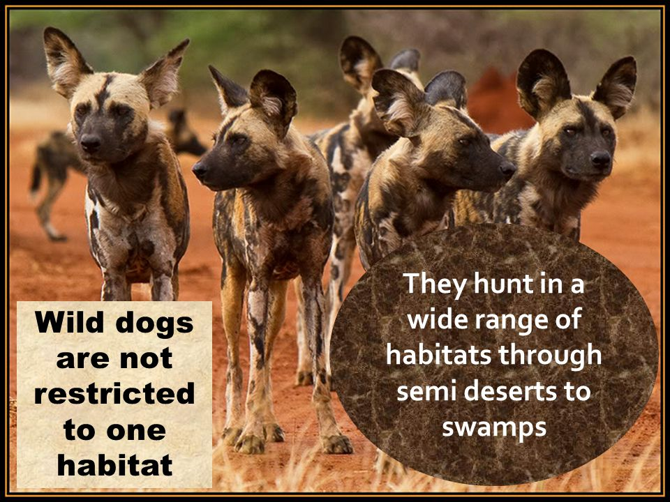 They hunt in a wide range of habitats through semi deserts to swamps Wild dogs are not restricted to one habitat