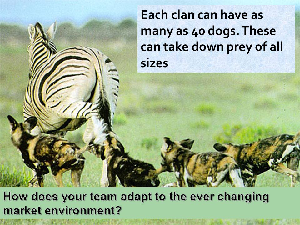 Each clan can have as many as 40 dogs. These can take down prey of all sizes