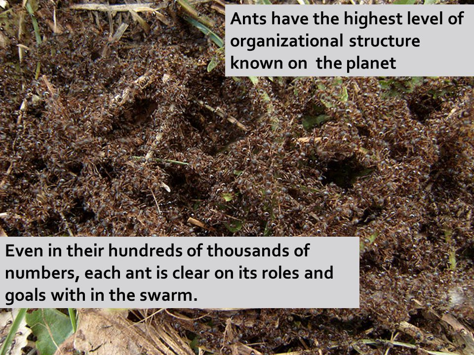 Ants have the highest level of organizational structure known on the planet Even in their hundreds of thousands of numbers, each ant is clear on its roles and goals with in the swarm.