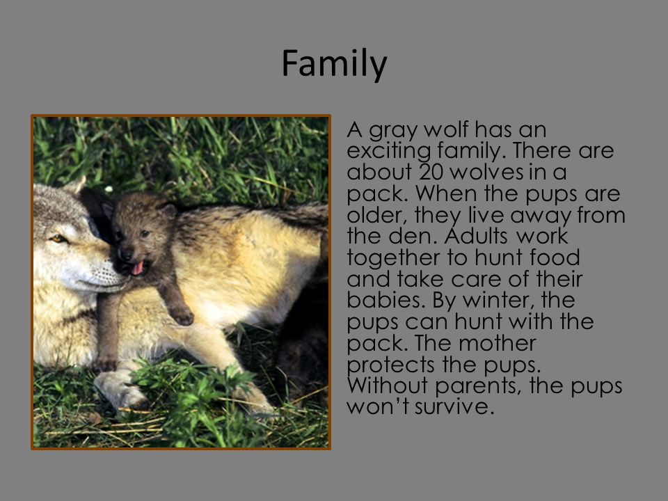 Family A gray wolf has an exciting family. There are about 20 wolves in a pack. When the pups are older, they live away from the den. Adults work toge
