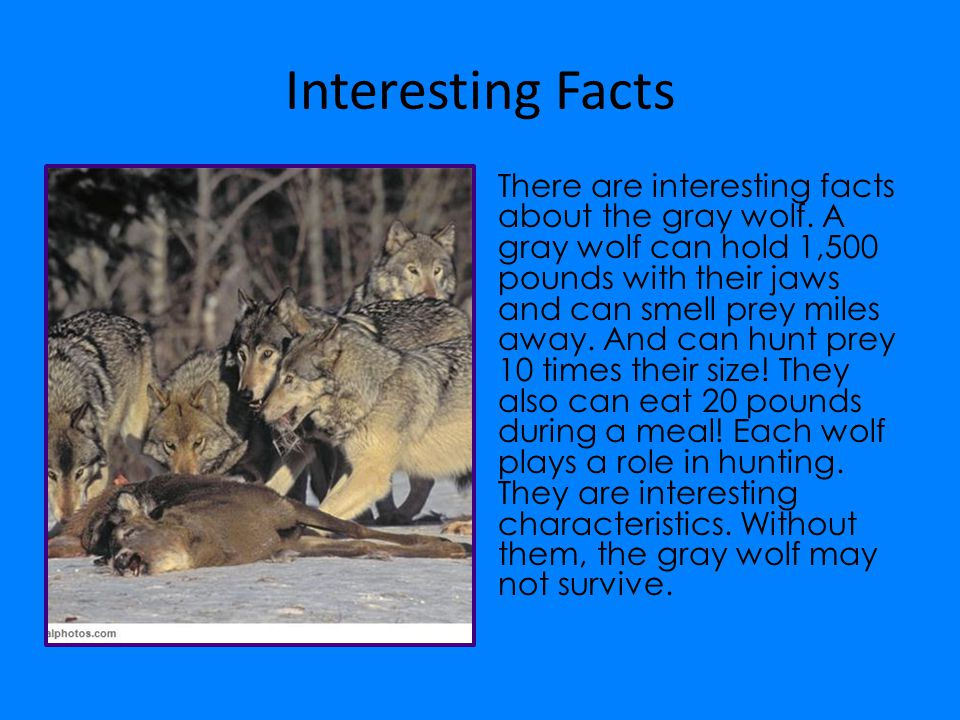 Interesting Facts There are interesting facts about the gray wolf. A gray wolf can hold 1,500 pounds with their jaws and can smell prey miles away. An