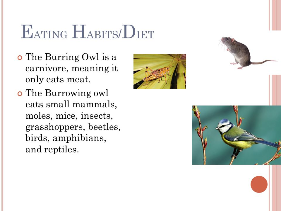 E ATING H ABITS / D IET The Burring Owl is a carnivore, meaning it only eats meat.
