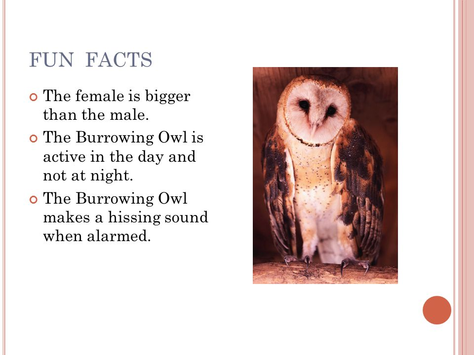 FUN FACTS The female is bigger than the male.