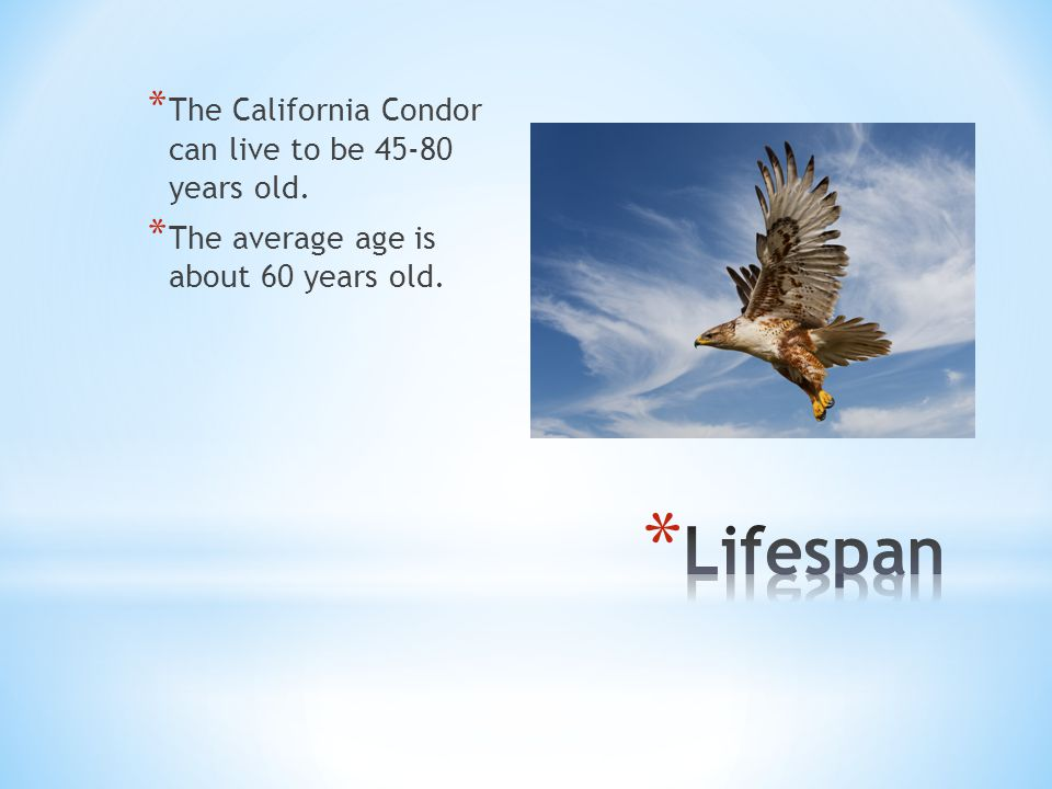 * The California Condor can live to be 45-80 years old. * The average age is about 60 years old.