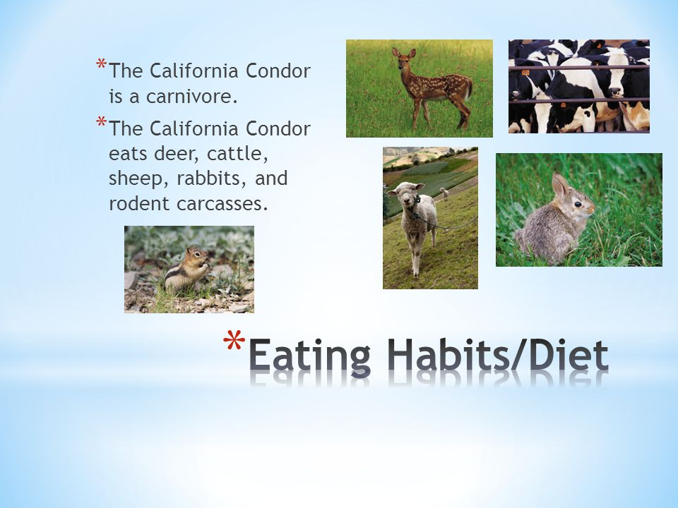 * The California Condor is a carnivore. * The California Condor eats deer, cattle, sheep, rabbits, and rodent carcasses.