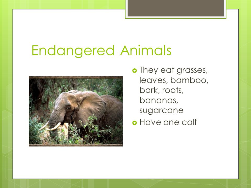 Endangered Animals  They eat grasses, leaves, bamboo, bark, roots, bananas, sugarcane  Have one calf