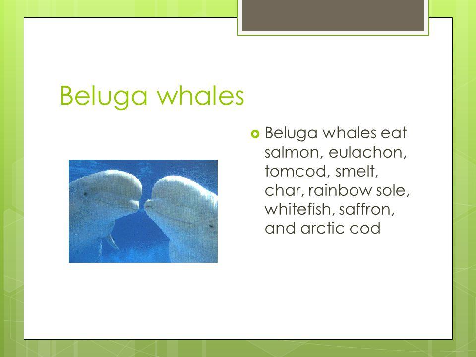 Beluga whales  Beluga whales eat salmon, eulachon, tomcod, smelt, char, rainbow sole, whitefish, saffron, and arctic cod