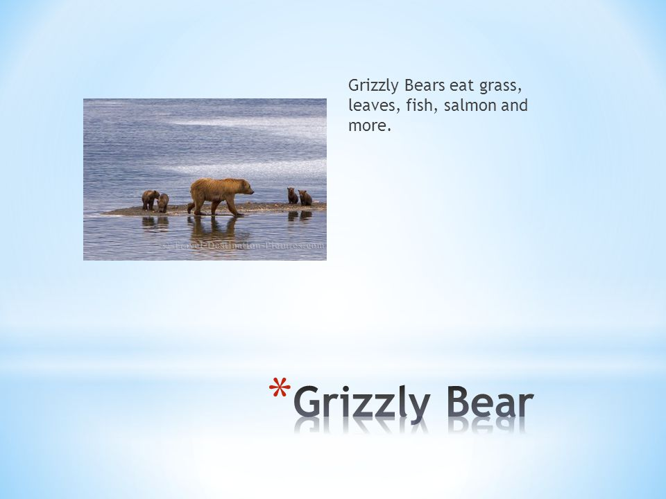 Grizzly Bears eat grass, leaves, fish, salmon and more.