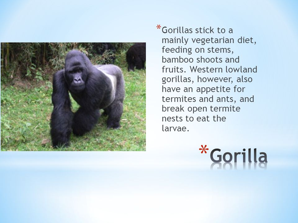 * Gorillas stick to a mainly vegetarian diet, feeding on stems, bamboo shoots and fruits.