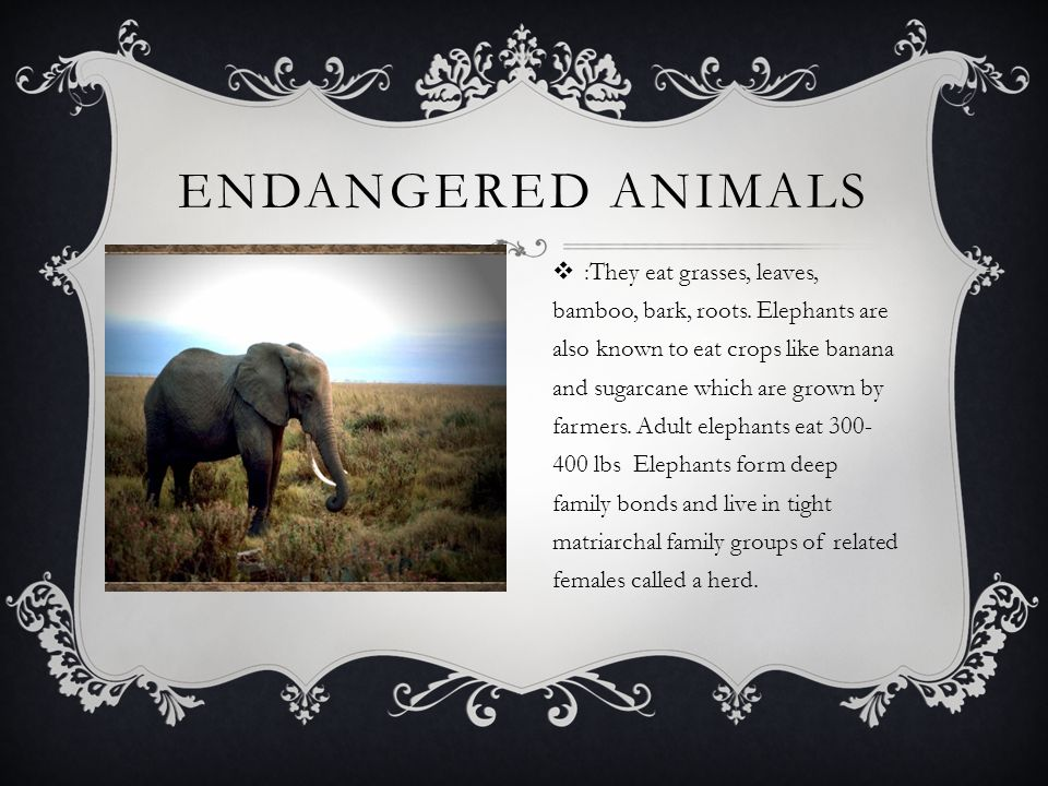 ENDANGERED ANIMALS  :They eat grasses, leaves, bamboo, bark, roots.