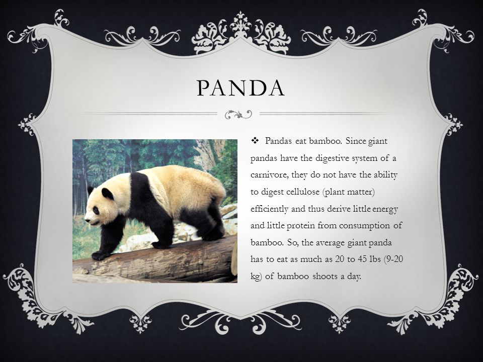 PANDA  Pandas eat bamboo. Since giant pandas have the digestive system of a carnivore, they do not have the ability to digest cellulose (plant matter