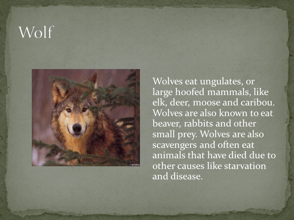 Wolves eat ungulates, or large hoofed mammals, like elk, deer, moose and caribou.