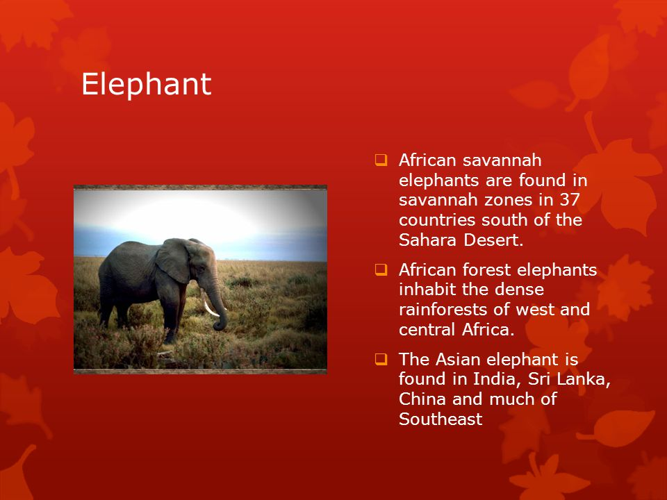 Elephant  African savannah elephants are found in savannah zones in 37 countries south of the Sahara Desert.
