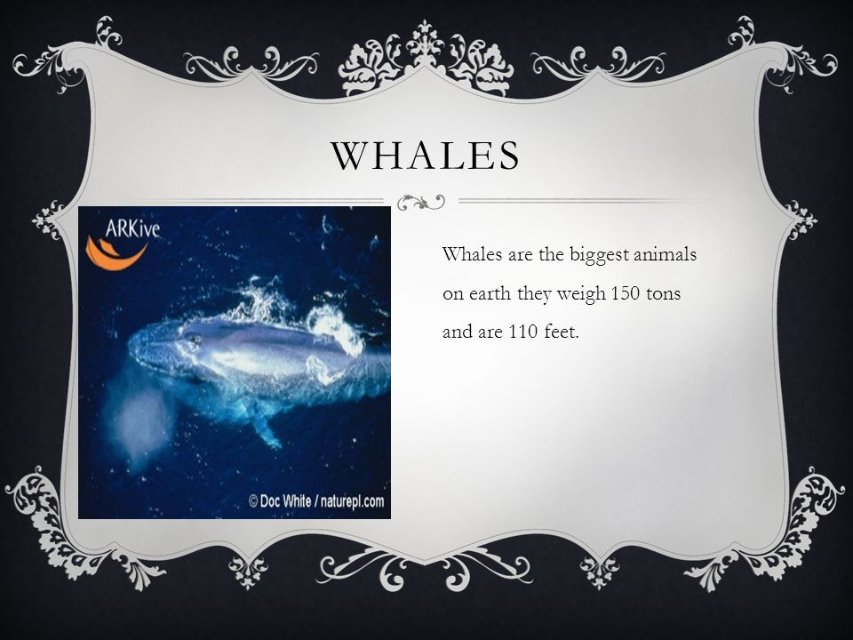 WHALES Whales are the biggest animals on earth they weigh 150 tons and are 110 feet.