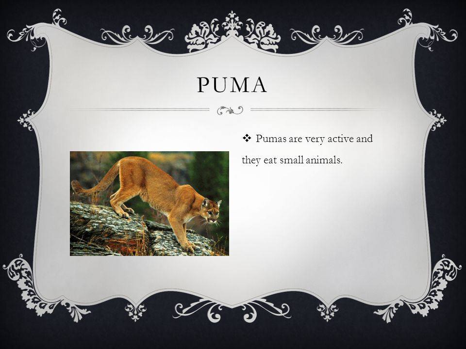 PUMA  Pumas are very active and they eat small animals.