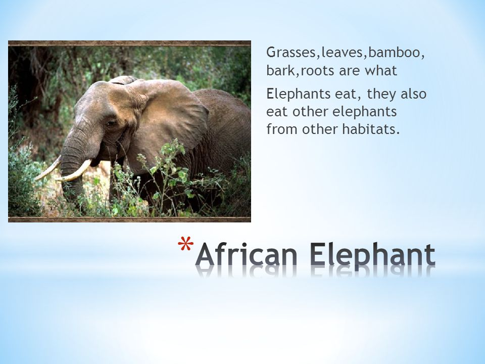 Grasses,leaves,bamboo, bark,roots are what Elephants eat, they also eat other elephants from other habitats.