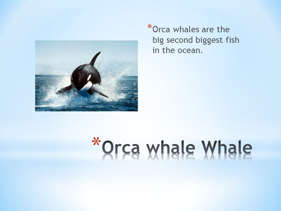 * Orca whales are the big second biggest fish in the ocean.