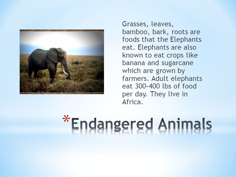 Grasses, leaves, bamboo, bark, roots are foods that the Elephants eat.