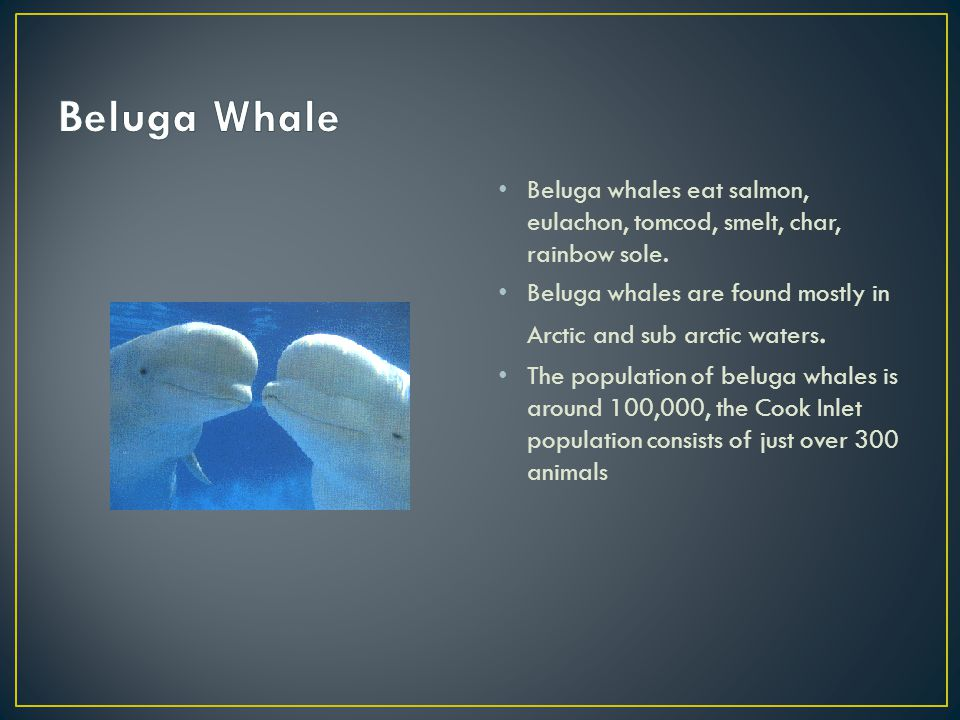 Beluga whales eat salmon, eulachon, tomcod, smelt, char, rainbow sole. Beluga whales are found mostly in Arctic and sub arctic waters. The population
