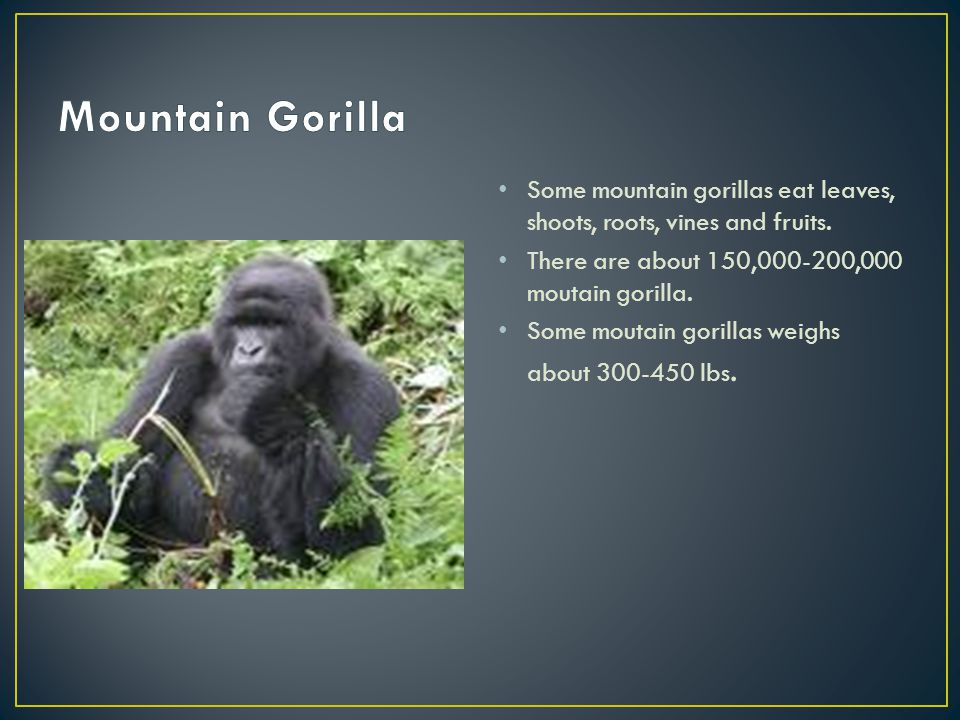 Some mountain gorillas eat leaves, shoots, roots, vines and fruits.